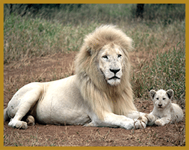 Elandela Lodges White Lions