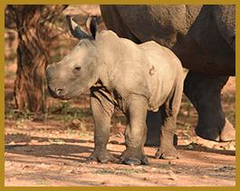 Elandela Lodges Rhinos