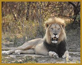 Elandela Lodges Lions