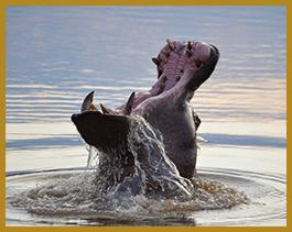 Elandela Lodges Hippo